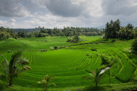 field growing fortified rice
